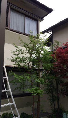 川崎市麻生区ヒメシャラ植木剪定 完了