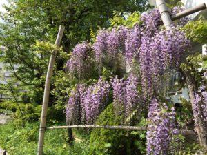 東京都町田市 植木の紹介藤のカーテン