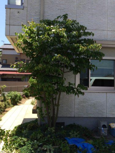 神奈川県平塚市ヤマボウシの剪定