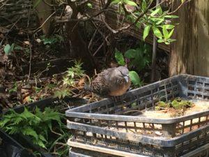 庭にいた小鳩が巣立ちました