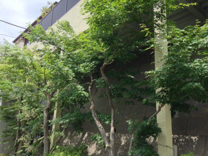 川崎市麻生区植木の剪定 モミジ